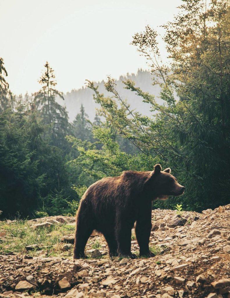 Synevir Lake in the Carpathian Mountains, Ukraine bear