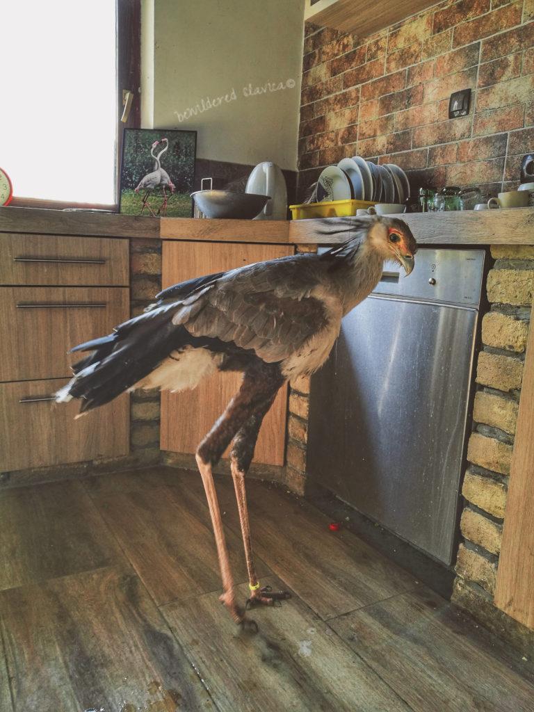 Czas na obiad. Ona pomieszkuje trochę w domu, trochę w ogrodzie egzotyczny ptak kolut miki zoo serbia