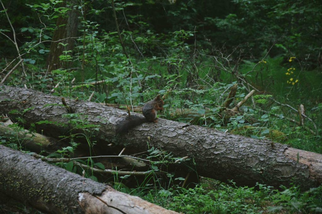 gommaren vasteras sverige sweden szwecja wiewiórka natura ppriroda squirrel