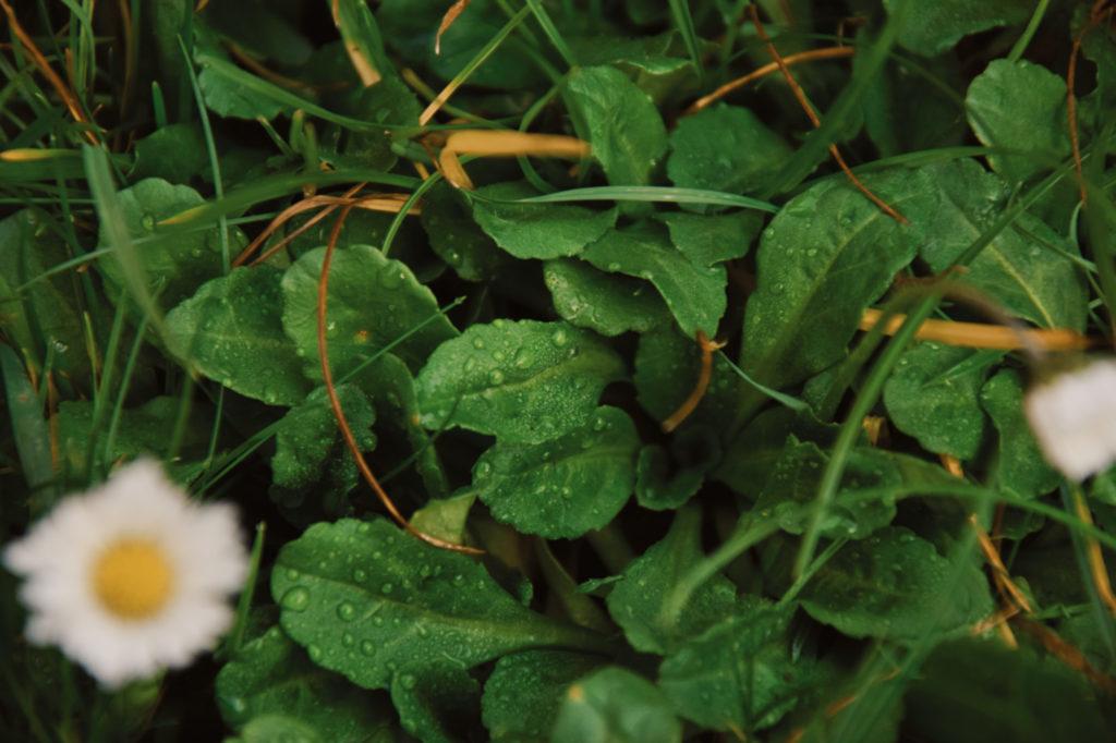 ziele zioła zielarka liści trawa
